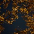 2015 人形町の桜並木と浜町公園の夜桜とカメラ