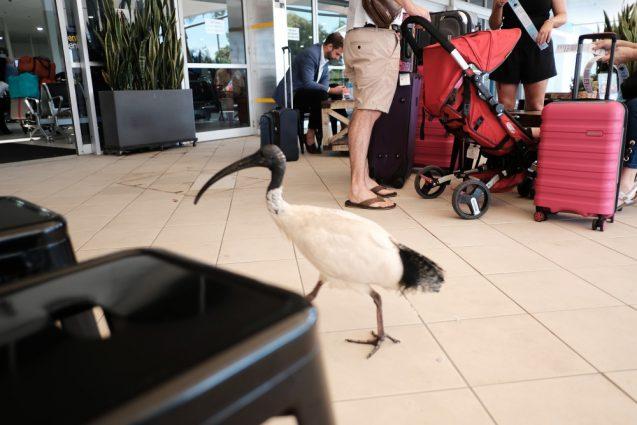 空港のカフェにやってきた黒トキ。白黒のユニークなトキですが、ゴミを漁るのでオージーには嫌われているそう